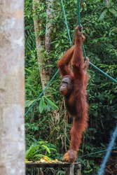 Wild adult male orangutan hanging from a rope. Feeding time at the natural reserve, individual holding a coconut in one foot. Banana peels on the platform banana. Sarawak, Malaysia, Southeast Asia