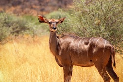 Wild african animals. Greater kudu ( woodland antelope) standing in African bushes.