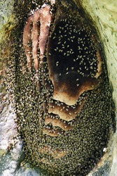 wild african bees on honeycomb