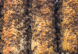 Wild African bees on honeycomb close up