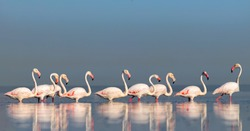 Wild african birds. Group birds of pink african flamingos  walking around the blue lagoon on a sunny day. Namibia