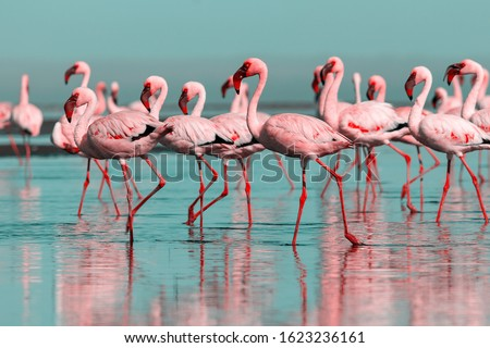 Wild african birds. Group birds of pink african flamingos  walking around the blue lagoon on a sunny day stock photo
