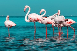 Wild african birds. Group of African white flamingo birds and their reflection on the blue water. Walvis bay, Namibia, Africa