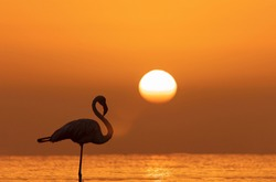 Wild african birds. Silhouette of a lonely flamingo stands in a lagoon against a background of golden sunset and bright sun
