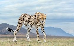 Wild african cheetah, beautiful mammal animal. Africa, Kenya