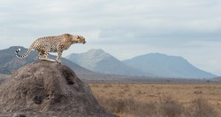 Wild african cheetah, beautiful mammal animal. Africa, Kenya