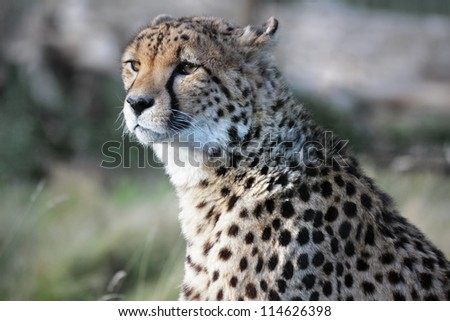 Wild african cheetah hunting prey
