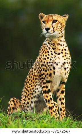 Wild african cheetah portrait, beautiful mammal animal, endangered carnivore, Africa. Kenya. Masai Mara #87172567