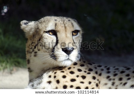 Wild African cheetah portrait, beautiful mammal animal, endangered carnivore in Africa.