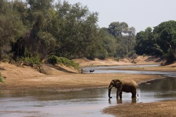wild african elephant drinking at the riverbank, Kruger national park, South Africa