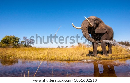 Wild African Elephant Drinking Water #1051602218