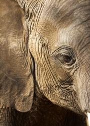 wild african elephant in the wild bush