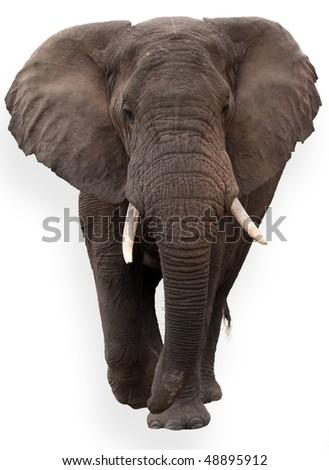wild African elephant isolated on white background - stock photo