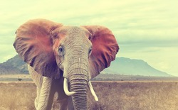 Wild african elephant. Vintage effect. National park of Kenya, Africa