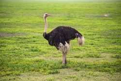 Wild African ostrich in Savannah, Serengeti National Park, Tanzania