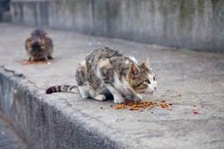Wild alley cat defending its food in the street