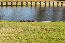 Wild alligator sunning on golf course.