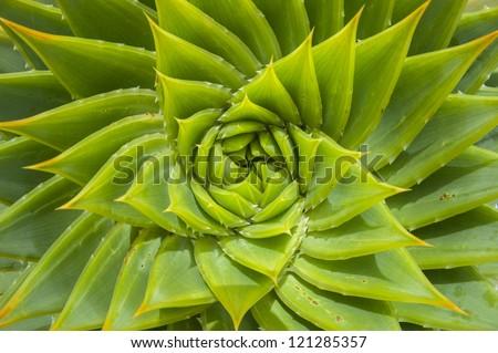 Wild Aloe vera #121285357