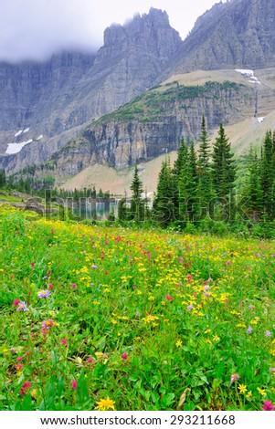 wild alpine flowers on the Glacier National Park landscape in summer