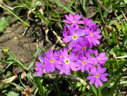 Wild alpine spring flowers on the slopes of the Pilatus mountain range and in the Emmental Alps, Alpnach - Canton of Obwalden, Switzerland