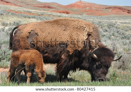 Wild American Bison (Bison bison) mother and calf in Wyoming