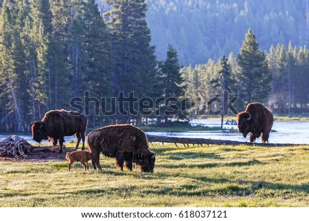 Wild American Bison waking up in Yellowstone National Park, Wyoming.