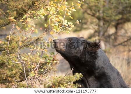 Wild American Black Bear