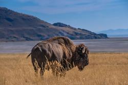 Wild American buffalo (Bison) on the grasslands of Antelope Island, Great Salt Lake, Utah, USA