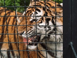 Wild Amur tiger in captivity in a zoo behind bars. Power and aggression in the cage. Animals in enclosures behind bars.