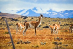Wild and Beautiful Guanaco with the Mountains on the Background in the Torres Del Paine National Park, Patagonia, Chile