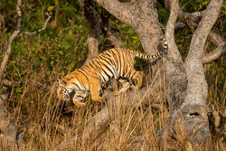 Wild and playful royal bengal tiger jumping from tree at dhikala zone of jim corbett national park or tiger reserve uttarakhand india - panthera tigris tigris