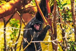 Wild animal at the zoo. Spider monkey, endangered species in simulated habitat. Rare animal preservation. Captive breeding program. Fun family outing.