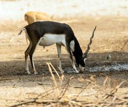 Wild Animal Blackbuck Deer (Antilope Cervicapra) or Indian Antelope in Lal Suhanra National Park Safari Park, Bahawalpur, Pakistan