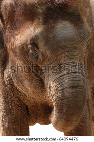 wild animal elephant isolated on white