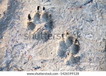 wild animal footprints in the sand #1426599128