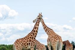 Wild Animal Giraffe Couple in Hamilton Lion Safari, Ontario, Canada
