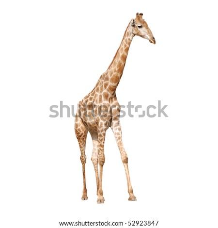 wild animal giraffe isolated - stock photo