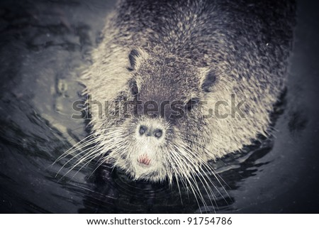 wild animal nutria rat close up