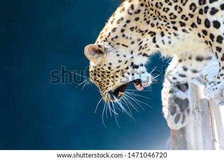 Wild animal portrait and mighty roar.