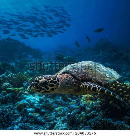Wild animal underwater. A turtle starting to float over corals with shoal of fish on background