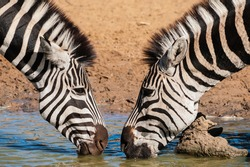 Wild animals drinking at a waterhole, reflections in the late afternoon sun