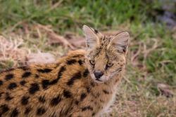 Wild animals in African safari (tsaval cat, hippo, warthog, bird, lizard, crocodile)