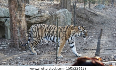 Wild animals in the zoo,  Tiger