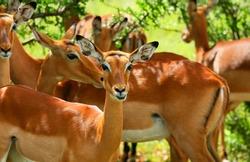 Wild antelope. Africa. Kenya. Samburu national park.