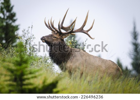 Wild Antlered bull elk during rutting season, Banff National Park Alberta Canada