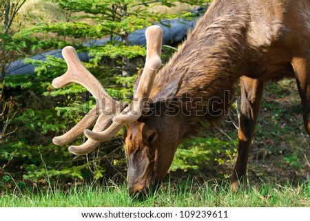 Wild antlered Elk in a picnic area, Banff National Park Alberta Canada