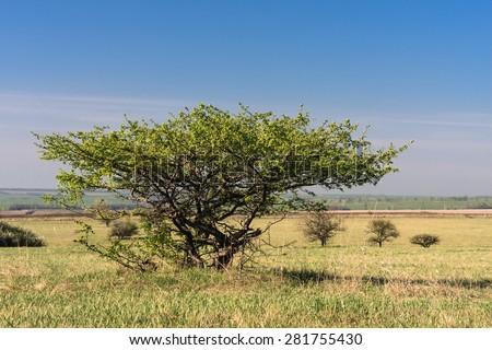 Wild apple tree (Malus domestica) in savannah-like landscape of Yamskaya Steppe, protected area in Belgorod region, southern Russia