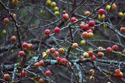 Wild apple tree with lots of red apples on the branches in late autumn. Red apples on the tree after the first morning frost in November.