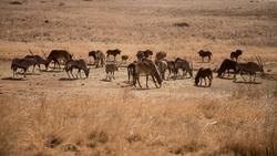Wild artiodactyls gemsboks, sable antelopes, black wildebeests eat grass in natural habitat in South Africa. Safari. Autumn, winter savannah. Oryx gazella, connochaetes gnou, hippotragus niger.