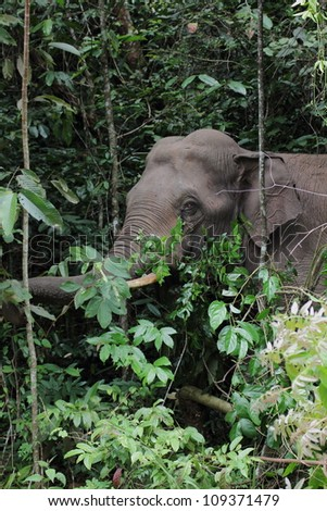 wild asia elephant in evergreen forest from thailand